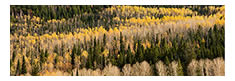 Aspens and Evergreens Panorama, Manti LaSal National Forest, UT